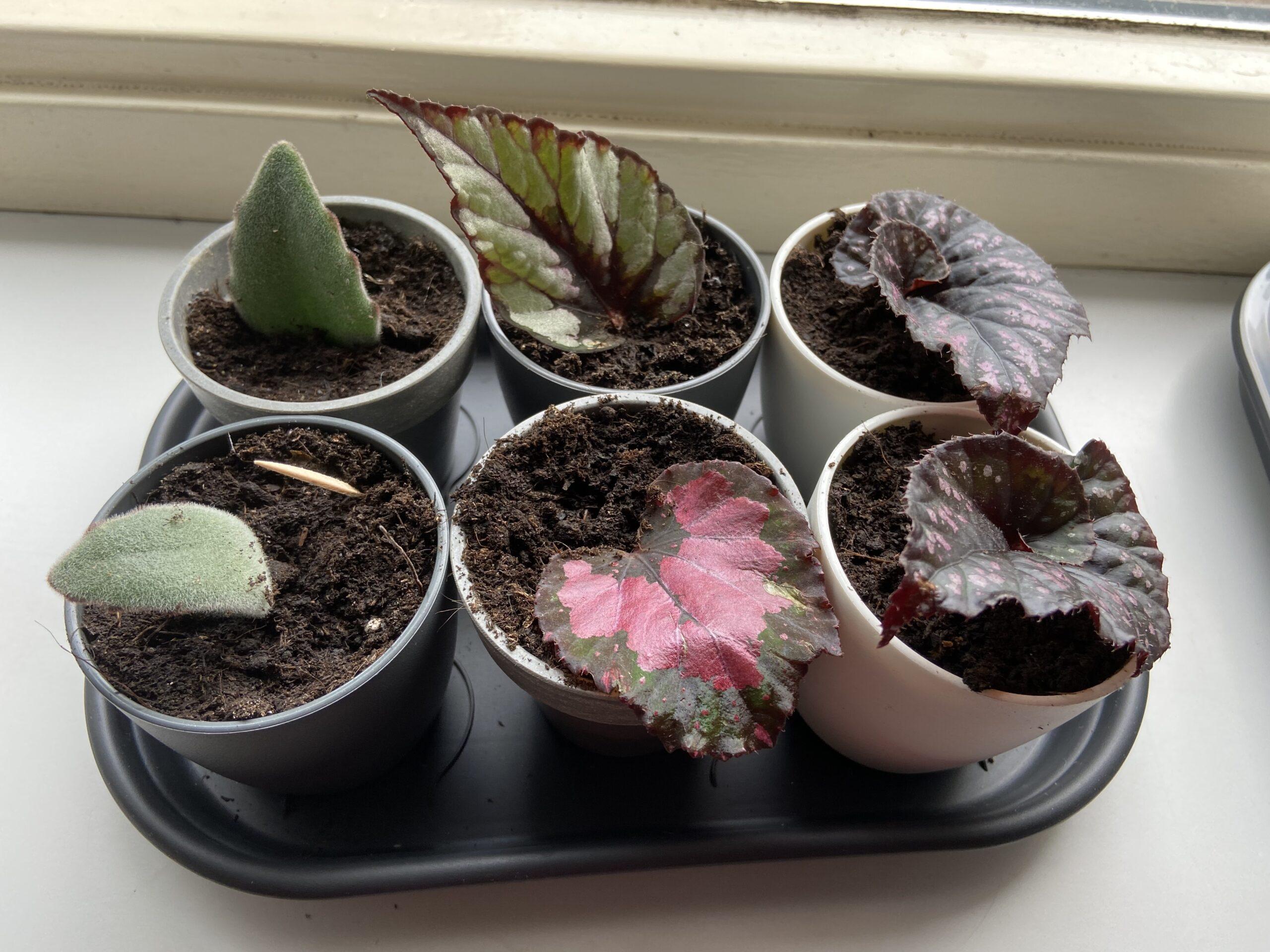 begonia's en kalanchoe tomentosa